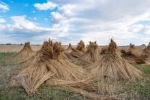 Reed Cones, Reed Harvesting, Illmitz, Lake Neusiedl, Burgenland, Austria, Europe