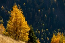 Yellow Colored Larches (Larix ...