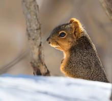 Chilly Fox Squirrel (Sciurus N...