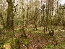 Las W Poludniowej Anglii.