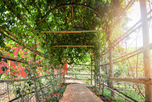 Tunnel Plant Leaf Vine Growing Cover With Bamboo And Walkway To The Garden And Sun Light