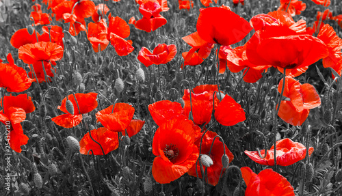 Foto op Plexiglas Rood red poppies, black and white