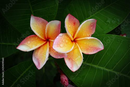 Leinwand Poster beautiful frangipani perfume flower with water rain drop on petal in rainy morni