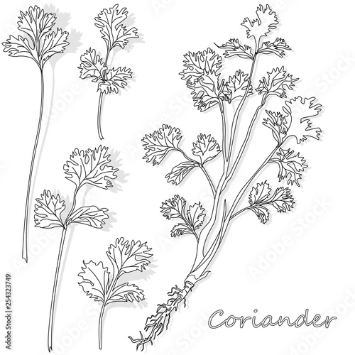 Fototapeta Fresh coriander or cilantro herb. Vector illustration isolated. Monochrome obraz na płótnie