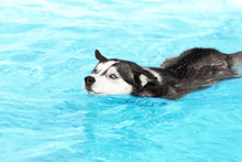 An Angry Siberian Husky Female Dog Is Swimming In A Pool. She Has Black And White Fur And Amazing Blue Eyes. She Is Not Pleased To Swim In A Pool. The Water Has An Azure And Blue Color.