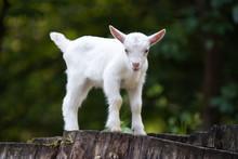 White Baby Goat Standing On Gr...