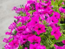 Magenta Pink Petunia Flowers Bloom