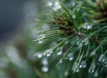 Krople Wody Na Igłach Drzewa