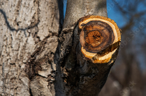Old tree trunk with fresh cut thick branch  Sawed wood with