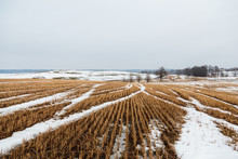 Wheat Field In Winter