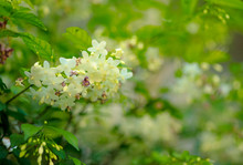Water Jasmine Flowers Or Wild Water Plum For Natural Background.