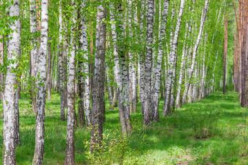 Fragment lasu wiosną z brzozami na pierwszym planie