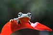 Javan tree frog on leaves, flying frog on red leaves, tree frog on leaves