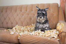 Naughty Bad Schnauzer Puppy Do...
