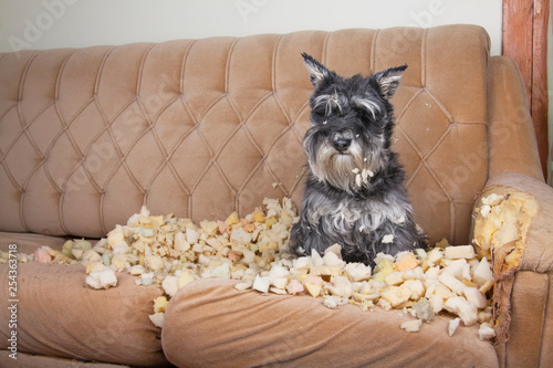Fotografia Naughty bad schnauzer puppy dog lies on a couch that she has just destroyed