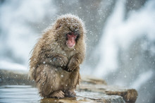 Japanese Macaque On The Stone....