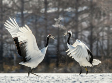 The Red-crowned Crane . Scientific Name: Grus Japonensis, Also C