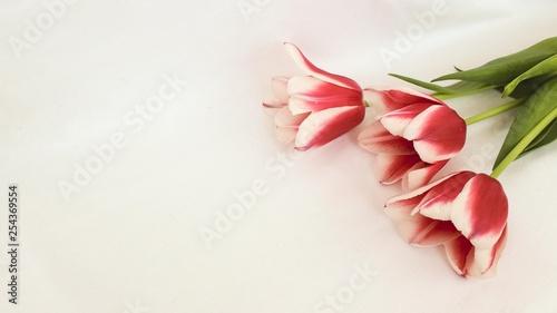 Fototapeta tulips on white background obraz na płótnie
