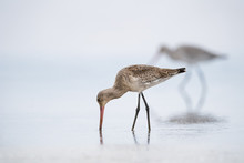 Feeding Black Tailed Godwit Cl...