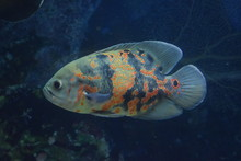 Astronotus Ocellatus Is A Species Of Fish From The Cichlid Family