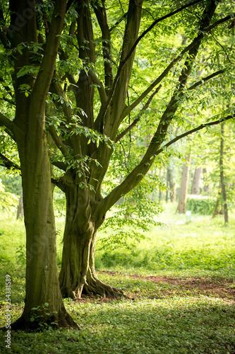 Obraz Vintage hornbeam trees in spring park - fototapety do salonu