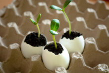 Three Green Shoots In Eggshell In Egg Cages