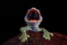 Lizard Tokey Closeup Face On W...