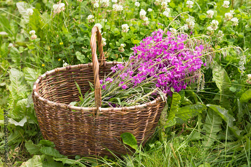 Photo Flower Willowherb Sally bloom in wicker basket.