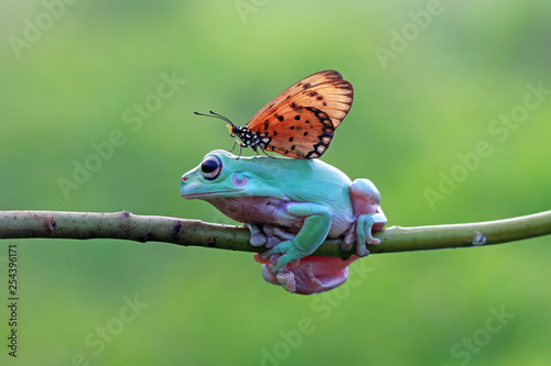 Spoed Foto op Canvas Macrofotografie Dumpy frog best friend with butterfly, butterfly landing on body dumpy frog