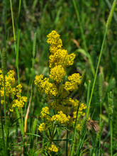 Yellow Bedstraw Or Galium Veru...