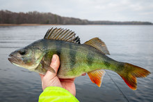 February Perch Fishing In The ...