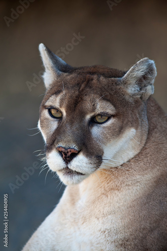 Portret lwa górskiego