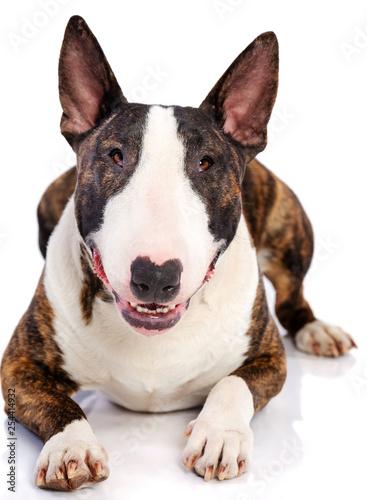 Leinwand Poster Bullterrier Dog  Isolated  on white Background in studio