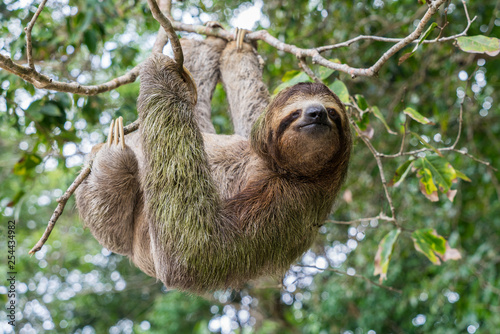 Fotografia  Costa Rica sloth hanging tree three-thoed sloth