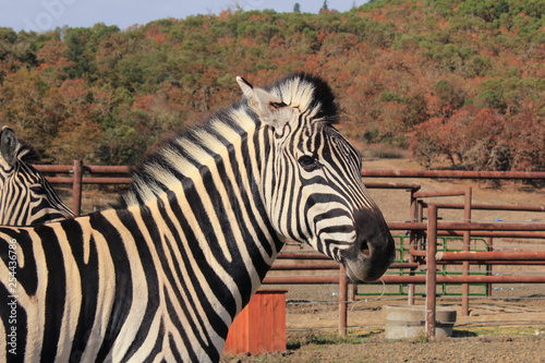 Photo  zebra at wildlife safari