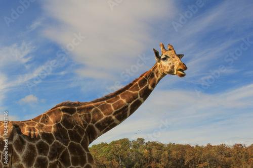 Photo  giraffe at wildlife safari