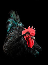 Black Rooster Australorp (Gall...