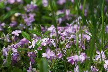 Wild Violet Blooms In The Sun In The Grass
