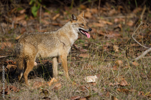 Golden jackal standing in forest