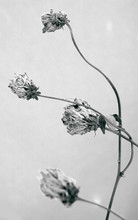 Wild Flowers And Stems Of Dry Dead Grass Artistic Image.
