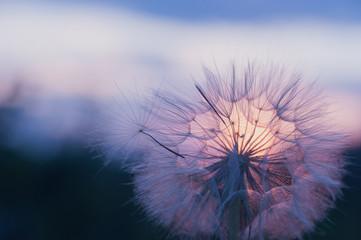 dandelion at sunset . Freedom to Wish. Dandelion silhouette fluffy flower on sunset sky