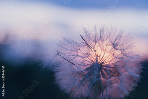 dandelion at sunset . Freedom to Wish. Dandelion silhouette fluffy flower on sunset sky - 254466169