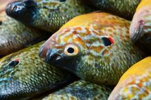 Flier Fish. Centrarchus Macropterus. Lepomis Gibbosus.