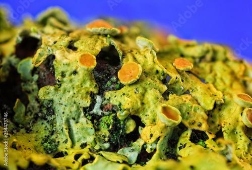 Photo Common orange lichen