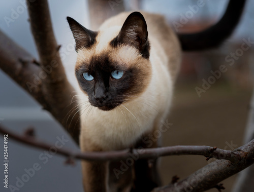 Fotografía  Siamese cat climbing on the tree