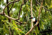 Toucan In Surinam