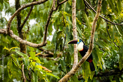 Deurstickers Toekan Toucan in Surinam