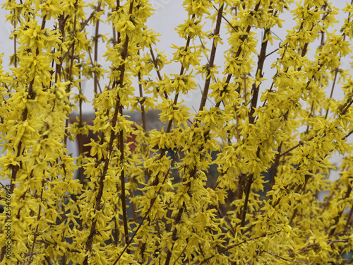 Foto  Forsythia ×intermedia - Le Forsythia hybride ou Forsythia de Paris au printemps