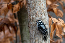 Female Downy Woodpecker(Dryoba...