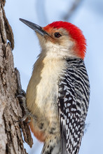 Red-bellied Woodpecker (Melanerpes Carolinus) On A Tree In The Winter In Michigan, USA.